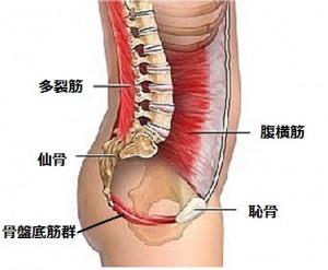 多裂筋腹横筋骨盤底筋群