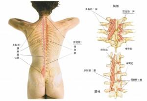 「多裂筋」の画像検索結果